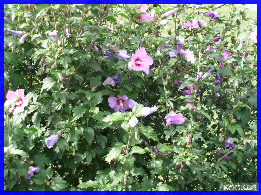 maladies des hibiscus de jardin meilleures id es
