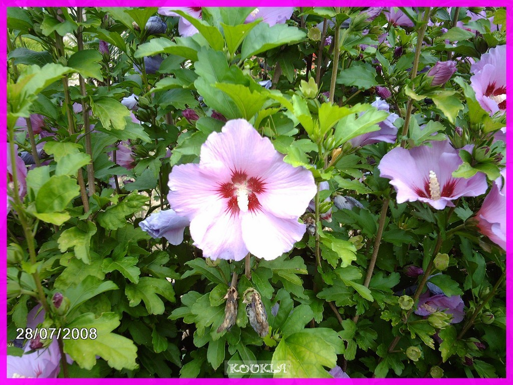 Fleurs Mes Hibiscus