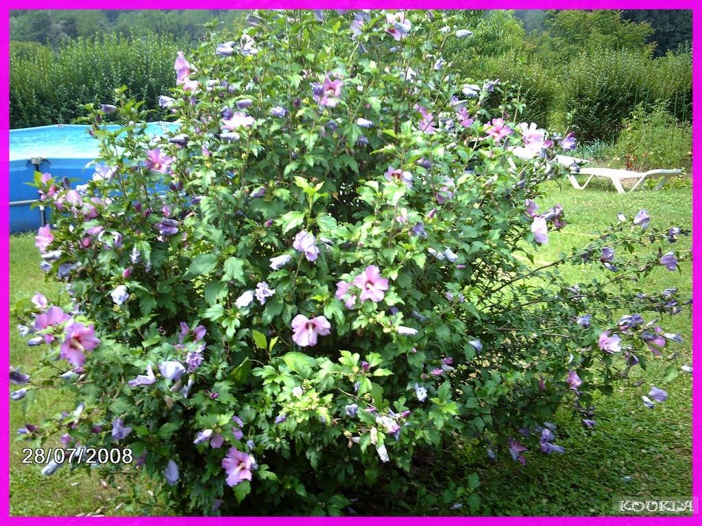 Maladies Des Hibiscus De Jardin ~ Meilleures Idées ...