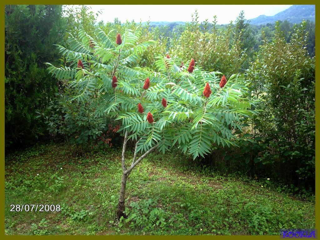 Fleurs mes hibiscus - Hibiscus de jardin persistant ...